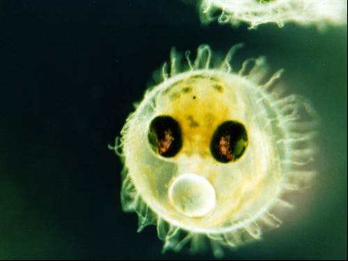 Japanese Medaka fish (an embryo is shown here) were among the first animals used to study embryo development in space