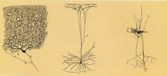 Image result for cajal drawings axons